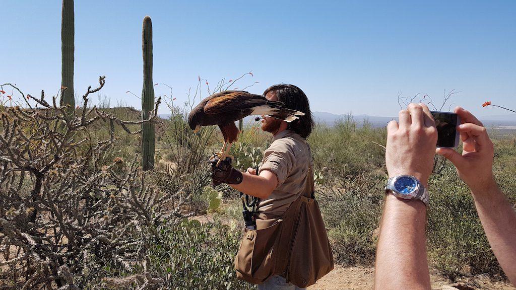 Harris Hawk from the Arizona-Sonora Desert Museum's Raptor Free Flight