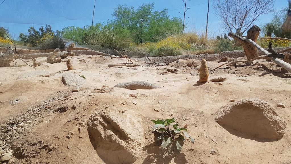 Prairie Dogs at the Arizona-Sonora Desert Museum