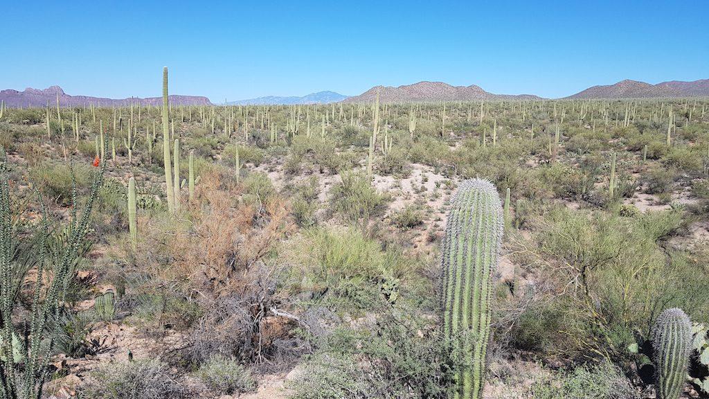Sonora Desert with Saguaros